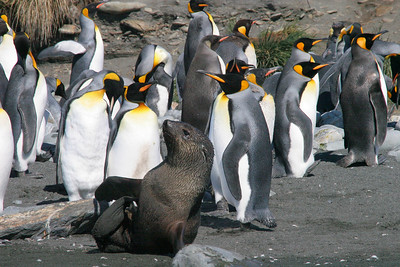 One of the few fur seals on the beach mingling with the king penguins.  In fact, we have not seen many fur seals on the beach at Gold Harbour.