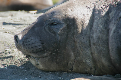 Portrait of an elephant seal at rest.
