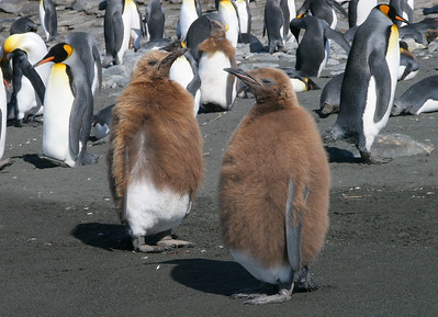 King penguin chicks in the early stages of molting out of their downy coats.