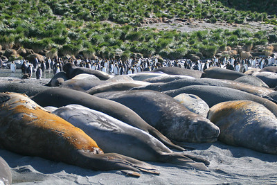 Typical; elephant seals are snuggled together in this haul out.