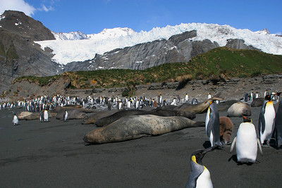 King penguins and elephant seals on the beach at Gold Harbour.