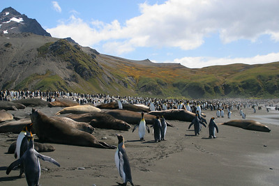 Elephant seals are hauled out on the beach.