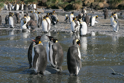King penguins are gathered for their molt.
