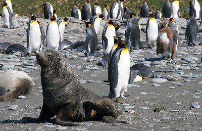 Fur seal and king penguins on the beach at Gold Harbour.