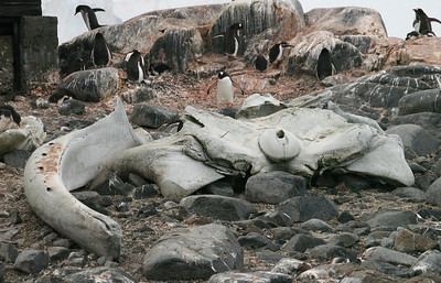 The skeletal remains of a minke whale and gentoos nesting nearby.
