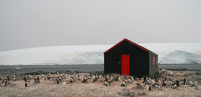 The gentoos are being closely monitored to determine if their breeding success is impacted by the large numbers of people who visit Port Lockroy.  To date, no discernible impact has been documented.  Local environmental conditions, such as snow cover and availability of krill, however, is closely linked with breeding success/failure.