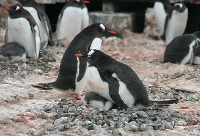 The wind has picked up and it's snowing lightly.  The gentoo chicks are huddled under their parents to keep warm.