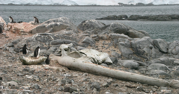 Gentoos nesting around the skeletal remains of a minke whale.
