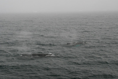 Humpback whales are all around us as they pass through Dallman Bay on their way south while we head north.  The mist in the air around the whales is from their blows as they come up to the surface for air.
