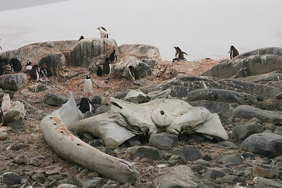 Gentoos nesting near the skeletal remains of a minke whale.