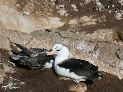 Most of the black-browed albatrosses are sitting on nests.
