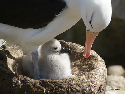 Black-browed albatross with chick.