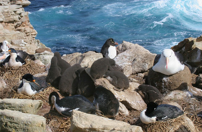 Rockhopper penguin chicks huddled in a crèche surrounded by blue-eyed shags and black-browed albatrosses.