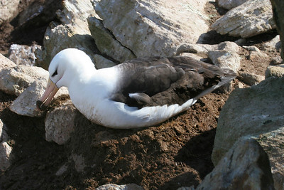 This albatross is making improvements to the nest; you can see the mud it is carrying.