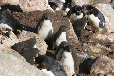 The boulders offer the adults and chicks some protection from the strong winds.