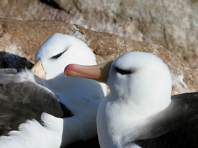 Black-browed albatrosses displaying courting rituals.