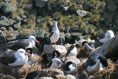 Black-browed albatrosses and blue-eyed shags.