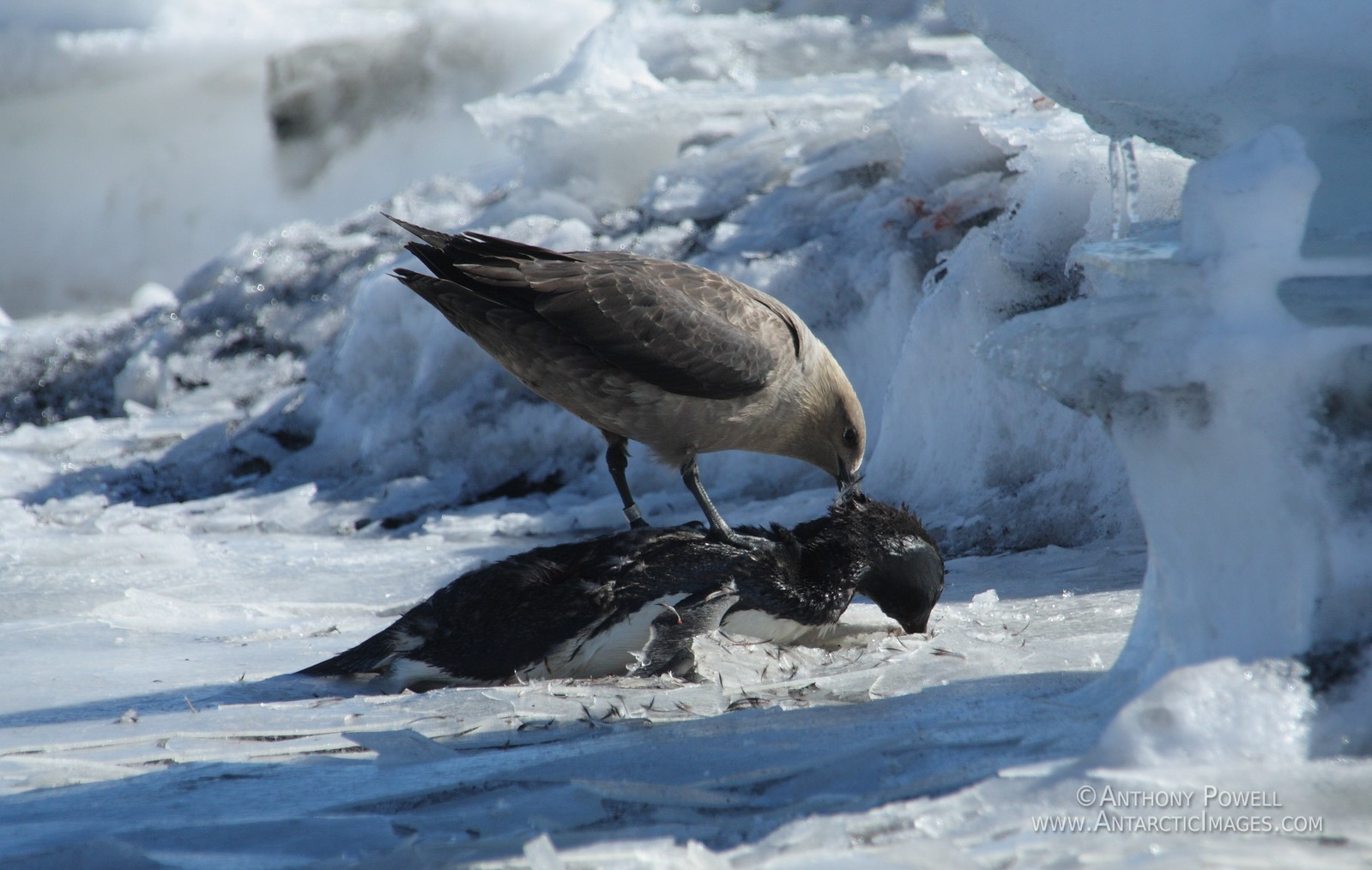 Skua eating a dead penguin.