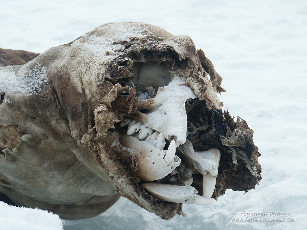 Dead Weddel Seal. The seal has wandered inland and died. The cold has freeze-dried it, and the winds have stripped away some of the flesh exposing the skull.