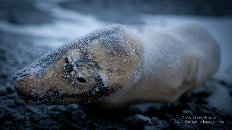A mummified seal that has died after wandering inland approx 30km from the ocean to Black Island.