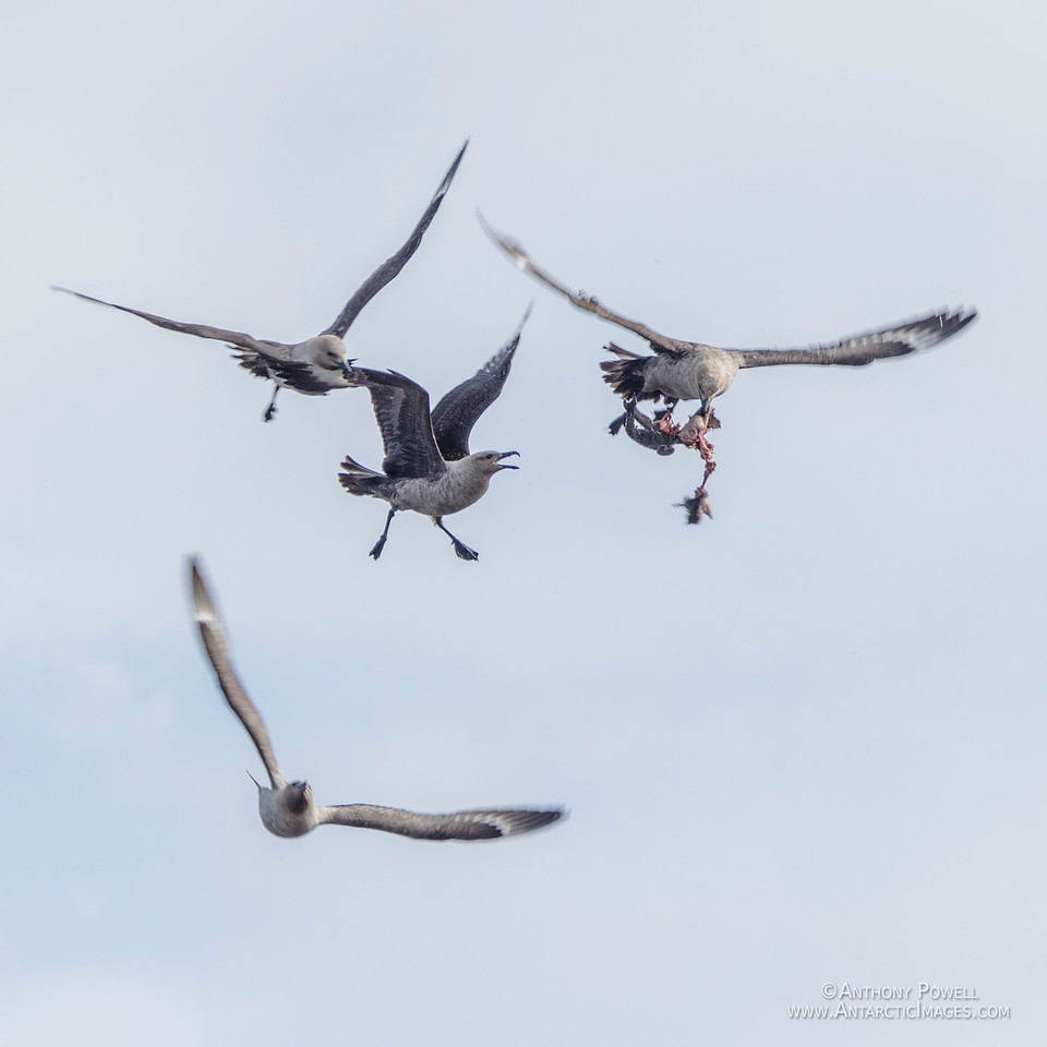 Skuas fighting over the remains of a penguin chick in mid-air