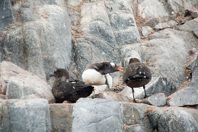 Two skuas harassing a gentoo penguin.  They want the egg that she's sitting on.
