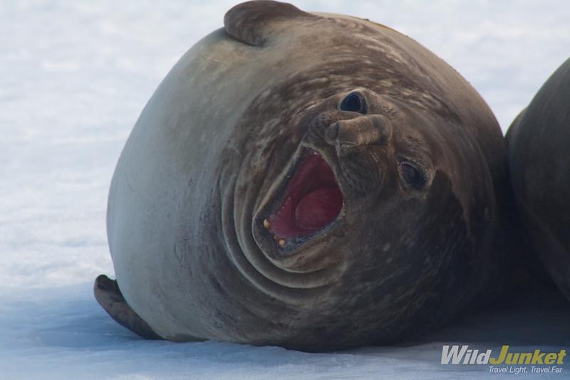 Elephant seal on King Georgia