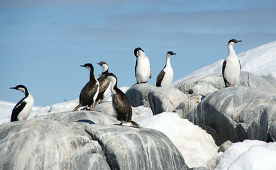 Blue-eyed shags, and a chinstrap penguin