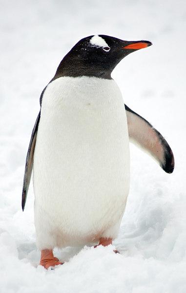 A-17 Jugla Point - Gentoo Penguin
