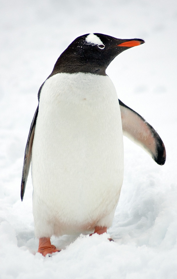 A-17 Jugla Point - Gentoo Penguin