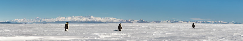 Emperor Penguins on the Ross Ice Shelf, looking towards the Royal Society Ranges.