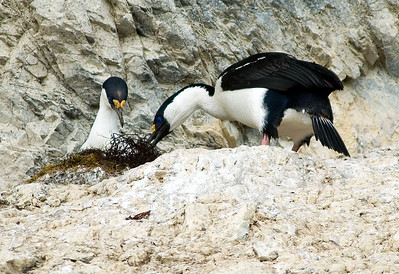 Blue-eyed shags, feeding a chick I think