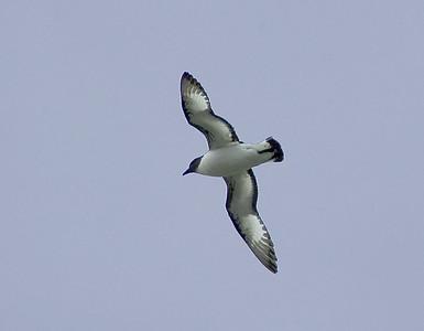 A blue-eyed shag in flight