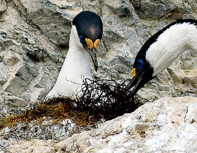 Blue-eyed shags, feeding a chick I think