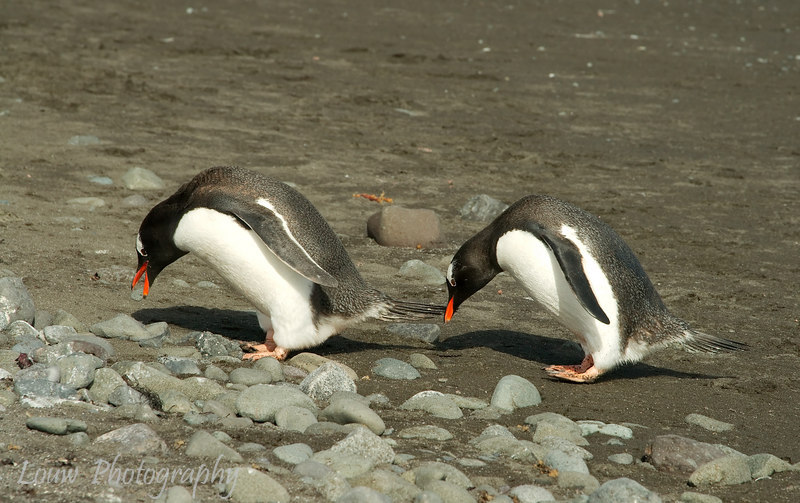 Gentoo penguin with pebble (left), younger Gentoo mimicking (right).  Aitcho Islands, South Shetland Islands
