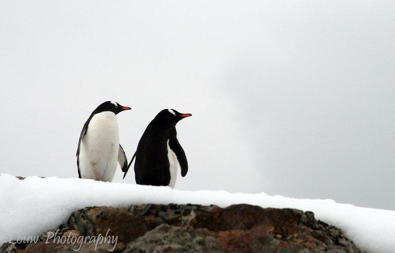Gentoo penguin pair at Petermann Island, Antarctica