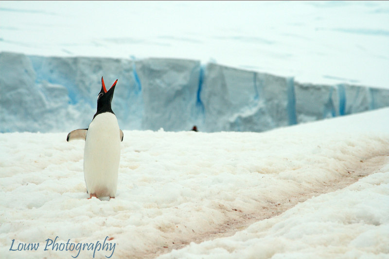 Gentoo penguin at Neko Harbour, Antarctica
