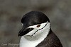 Chinstrap penguin at Aitcho Islands, South Shetland Islands