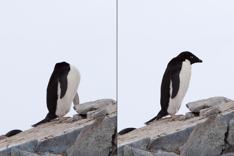 Adelie penguin scratching itself (During and After) at Petermann Island, Antarctica