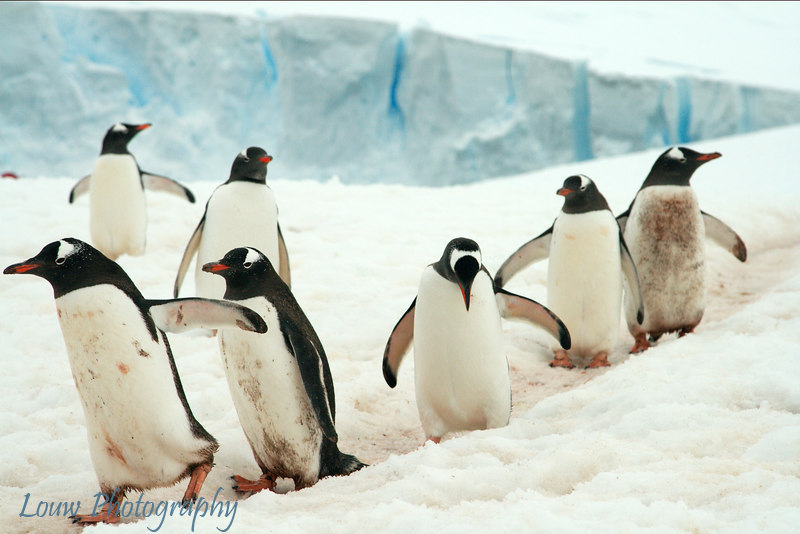 Gentoo penguins at Neko Harbor, Antarctica