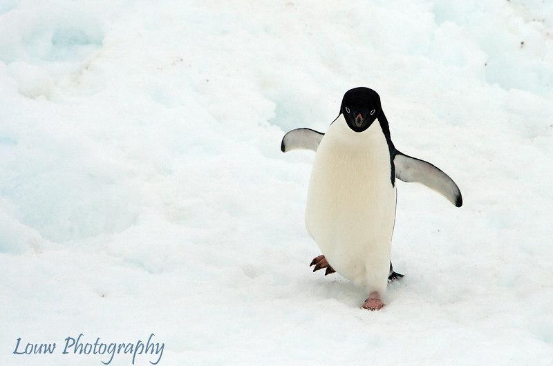 Adelie penguin at Petermann Island, Antarctica