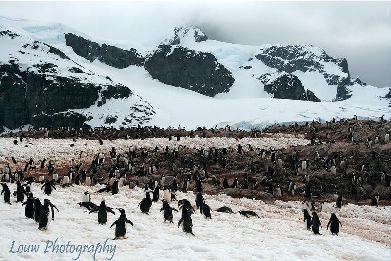 Gentoo penguin colony on Cuverville Island, Antarctica