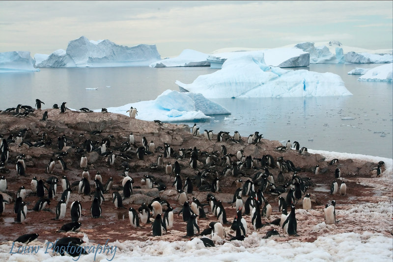Gentoo penguin colony on Cuverville Island, Antarctica