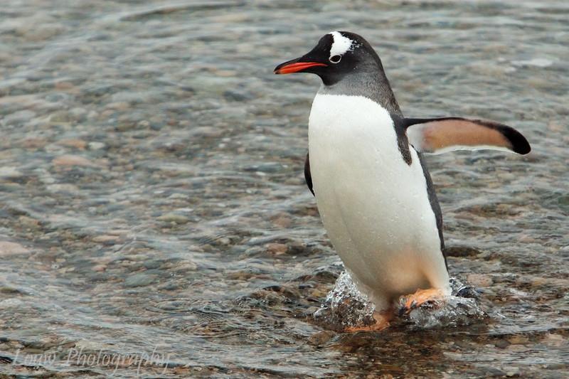 Gentoo penguin at Neko Harbor, Antarctica