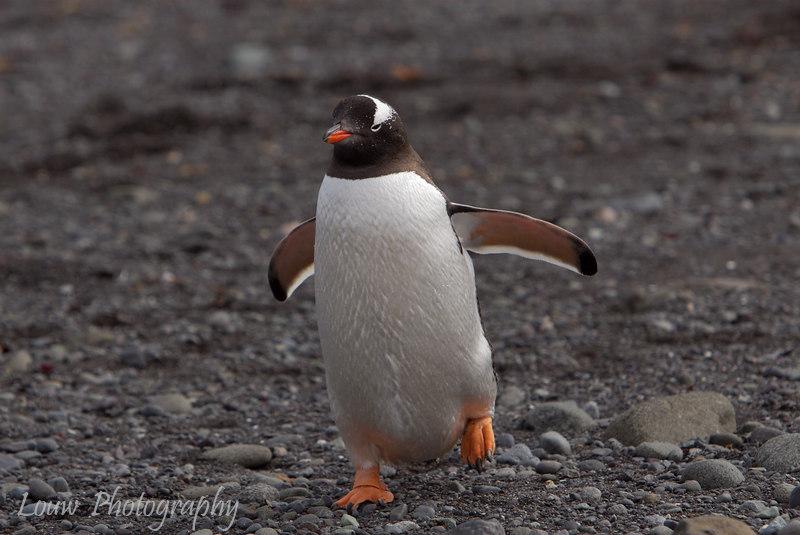 Gentoo penguin, Aitcho Island, South Shetland Islands