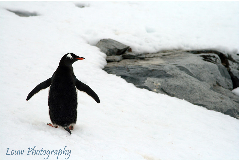 Gentoo penguin at Petermann Island, Antarctica