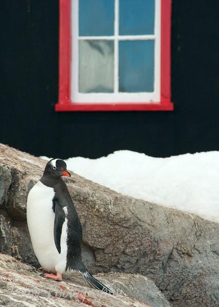 Gentoo penguin at Port Lockroy, Antarctica