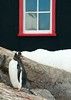 Gentoo penguin at Port Lockroy, Antarctica