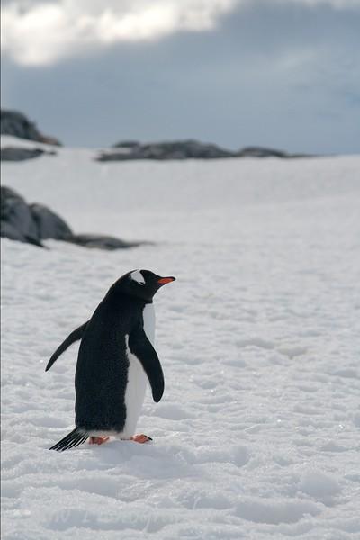 Gentoo penguin at Goudier Island, Antarctica