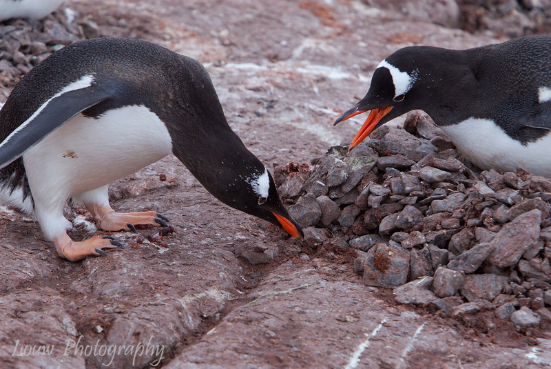 Gentoo penguins at Petermann Island, Antarctica
